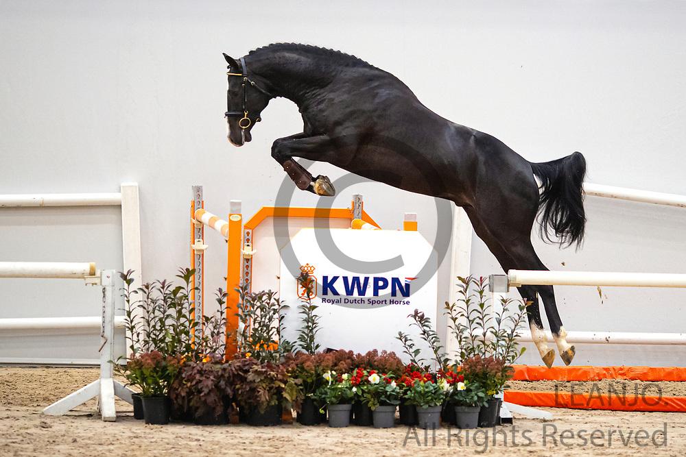 Nullan HBC<br /> KWPN Select Sale 2020 <br /> © DigiShots