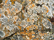 Orange and gray lichen grows in polygons in Denali State Park, Alaska, USA