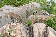 A female leopard (Panthera pardus) with her two cubs, Mala Mala Private Game Reserve, South Africa<br /> <br /> Leoparden-Familie (Panthera pardus), Mutter und zwei Junge, aus dem Mala Mala Private Game Reserve im Westen des Krueger Nationalparks zu Beginn der Regenzeit im November