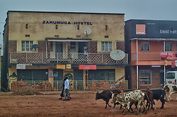 Cows pass the Zamunga Hostel during travel in Kabale Uganda Africa(Credit Image: