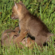 Coyote, (Canis latrans) Pair of pups fighting and playing, displaying dominance over each other.Spring. Montana. Captive Animal.