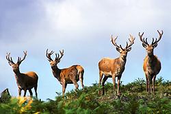 Four red deer stags (Cervus elaphus) with antlers covered in velvet, Leicestershire, England, UK.<br /> Photo © Ed Maynard<br /> +44 (0) 7976 239804<br /> www.edmaynard.com<br /> mail@edmaynard.com