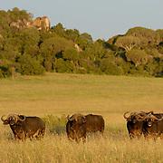 African Buffalo ( Syncerus caffer) Grazing. Serengeti National Park. Tanzania. Africa. February.