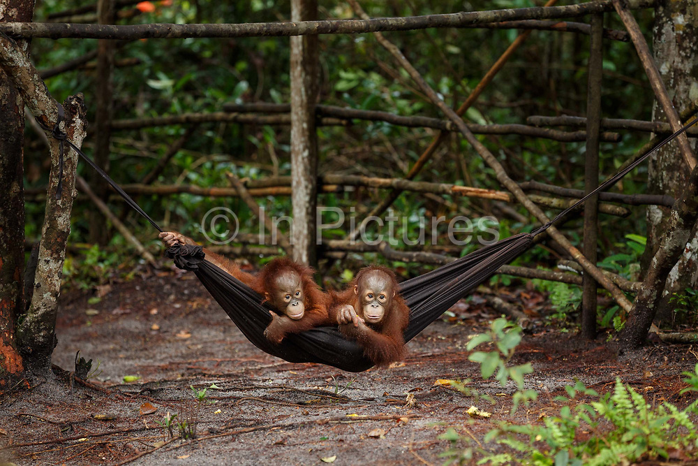 Two infant orang-utans play in a hammock in the nursery at Nyaru Menteng Rehabilitation Centre, run by the Borneo Orangutan Survival Foundation, in Central Kalimantan, Borneo, Indonesia on 27th May 2017. Baby orang-utans are rescued from situations including being illegally kept as pets and being orphaned by loggers or workers on palm oil plantations. The centre houses around 450 rescued orangutans who have been displaced from their habitats by human activity. They undergo a rehabilitation process that trains them how to live in the wild.