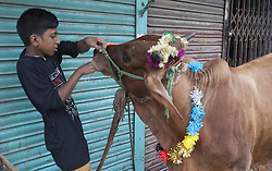 September 1, 2017 - Dhaka, Bangladesh - Young boy feeds their cow as they buy it from the livestock market ahead of the Eid al-Adha festival in the old part of Dhaka, Bangladesh on 01 September 2017. Bangladesh.Muslims across the world are preparing to celebrate annual festival if Eid-ul-Adha also known the festival of sacrifice which makes the end of the hall pilgrimage to Macca. (Credit Image: © Monirul Alam/NurPhoto via ZUMA Press)