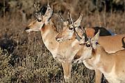 Three pronghorn antelope bucks (Antilocapra americana), bask in the evening sun in the Lamar Valley of Yellowstone National Park, Wyoming.