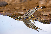 Stone Curlew, Eurasian Thick-knee, or Eurasian Stone-curlew (Burhinus oedicnemus). This wading bird is found in dry open scrublands of Europe, north Africa and south-western Asia. It feeds mainly on insects and other invertebrates, but will also prey on other small animals. Photographed in Israel in June