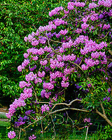 Rhododendron flowers. Image taken with a Fuji X-T2 camera and 100-400 mm OIS lens.
