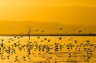 Flock of birds wade in Salton Sea at sunset, Imperial Valley, California