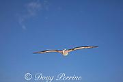 Laysan albatross, Phoebastria immutabilis, flying over Sand Island, Midway Atoll, Midway National Wildlife Refuge, Papahanaumokuakea Marine National Monument, Northwest Hawaiian Islands, USA ( North Pacific Ocean )
