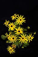Der Gewöhnliche Sonnenhut (Rudbeckia fulgida), auch Leuchtender Sonnenhut genannt, ist eine Pflanzenart innerhalb der Gattung der Rudbeckien (Rudbeckia) in der Familie der Korbblütengewächse (Asteraceae). Hinz & Kunz Garten. Jaarsmoor 34 . Eideltsedt. Hamburg, Deutschland.  1.9.2017