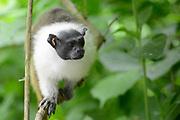 Apenheul is een gespecialiseerde dierentuin aan de rand van de Nederlandse stad Apeldoorn. De tuin ligt midden in het natuurpark Berg & Bos (200 ha). In Apenheul leven apen uit Afrika, Zuid-Amerika en Azië. De dieren leven er heel vrij: gaas of tralies ziet men er bijna niet. Sommige soorten lopen zomaar tussen de bezoekers rond. <br /> <br /> Op de foto: Manteltamarin