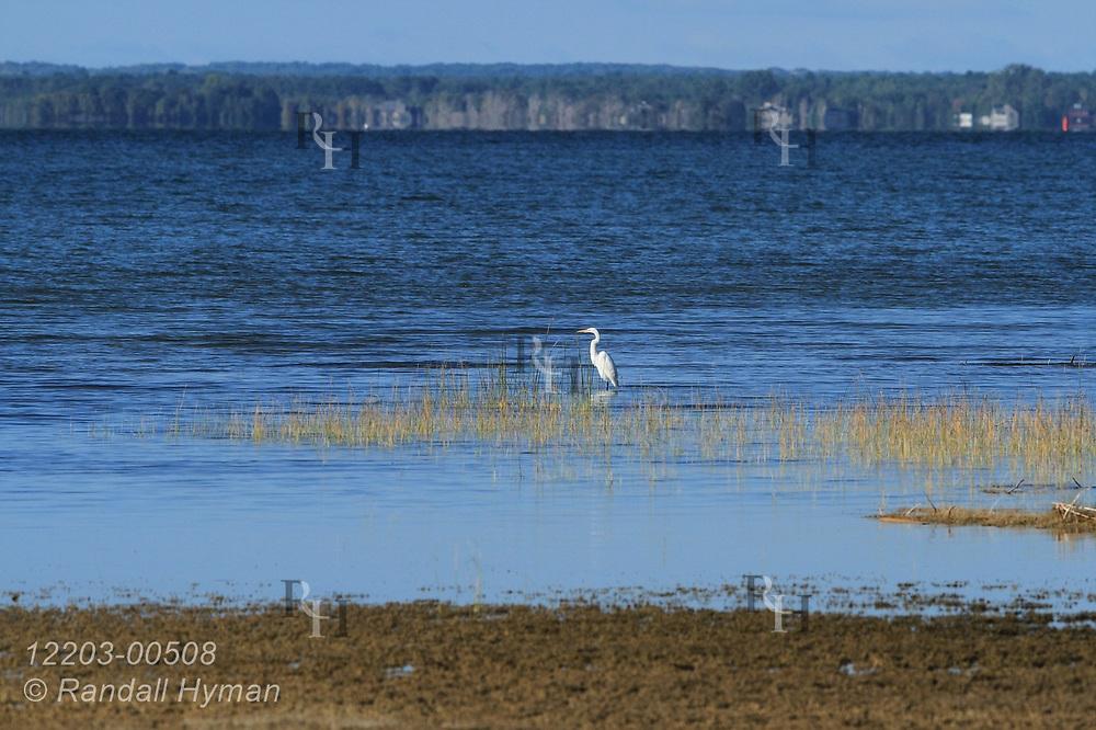 Great egret (Ardea alba) fishes along shore of Thunder Bay on Lake Huron north of Alpena, Michigan.