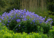 Geranium pratense at Waterperry Gardens, Waterperry, Wheatley, Oxfordshire, UK