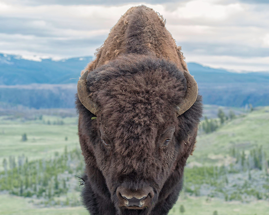 Close encounter with a Yellowstone National Park bison.