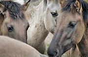 Nederland, Ooijpolder, 5-4-2007Konikpaarden in natuurgebied de Millingerwaard.De wilde paarden zijn in Nederland een succes. Stichting de Ark beheert de dieren langs de oevers van de Waal . Oorspronkelijk een ras dat in Polen leeft. Foto: Flip Franssen/Hollandse Hoogte
