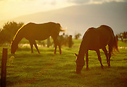 Horse, Upcountry Maui, Hawaii