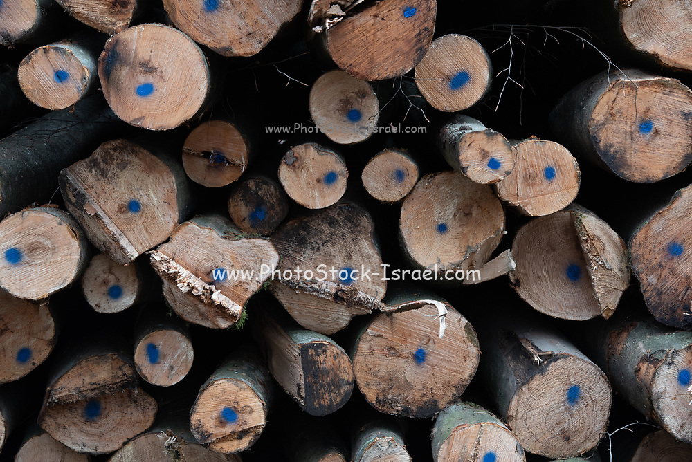 Winter forest. a stack of fallen trees after deforestation. Photographed in Germany in January