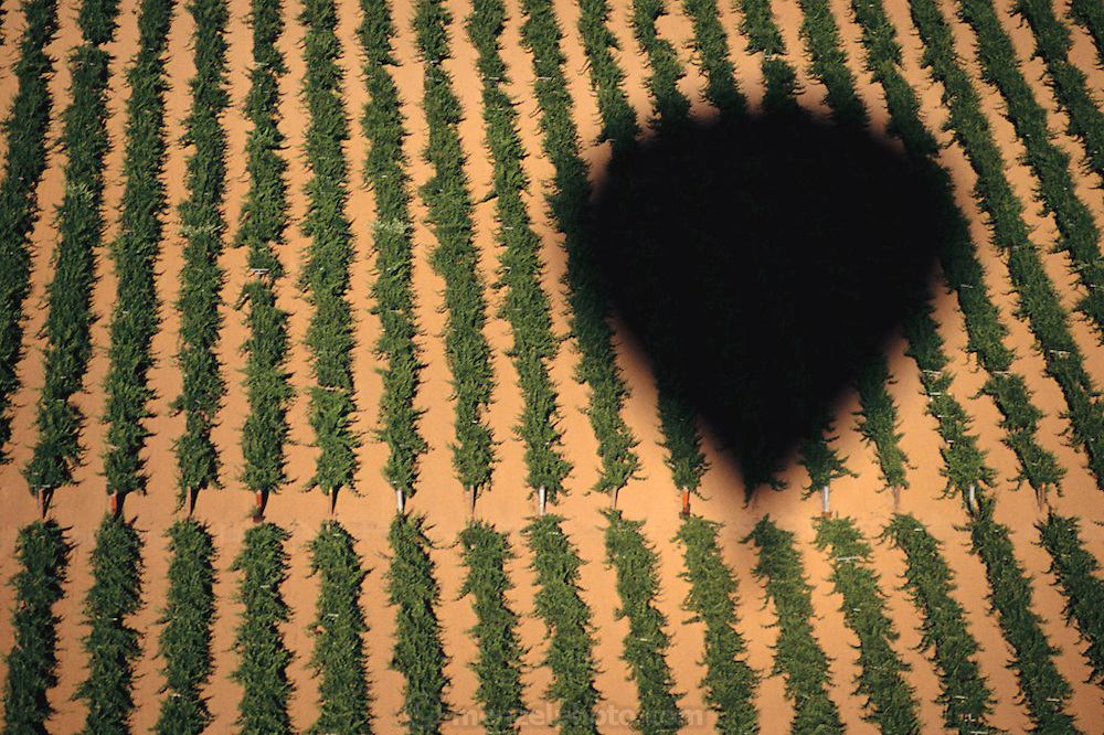 Napa Valley, California. Shadow of a hot air balloon in the morning seen on a vineyard below.