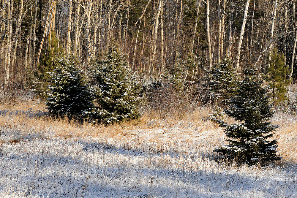 A dusting of early snow on spruce trees in a meadow, Greater Sudbury (Lively), Ontario, Canada