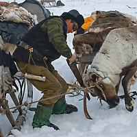 Because antlers are valuable for Chinese medicine, Arthum Khantazeski, a nomadic Komi reindeer herder who lives north of the Arctic Circle in Russia, saws one off before the animal drops it naturally while grazing in the wild.  According to Arthum, this is not painful.