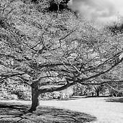 Cherry Tree - San Francisco Botanical Gardens - Black & White