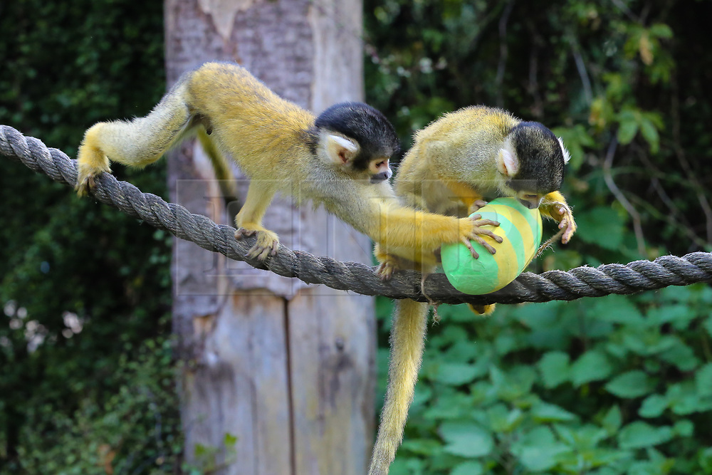 © Licensed to London News Pictures. 18/04/2019. London, UK. Black-capped squirrel monkeys (Saimiri boliviensis)  joins in with the Easter fun by having an Easter egg hunt at London Zoo using their acrobatic skills to get at the tasty mealworms hanging from their treetop home. Photo credit: Dinendra Haria/LNP
