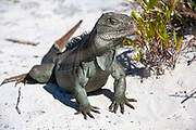 Rock Iguana at the Little Water Cay Nature Reserve Providenciales, Turks & Caicos