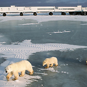 Polar bear (Ursus maritimus) mother and cubs near the Tundra Buggy lodge. Hudson Bay, Canada