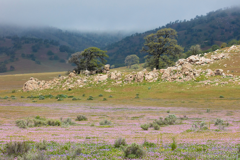 Violet spring wildflowers and oak trees sit at the base of mountains, which vanish into low clouds above Tehachapi, California.