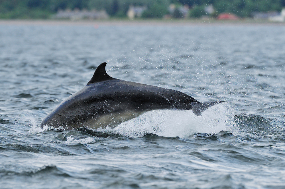 Sequence of adult Bottle-nosed Dolphins breaching,<br /> Tursiops truncatus,<br /> Moray Firth, Nr Inverness, Scotland - June