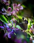 Bumblebees on Flowering Crabapple Tree
