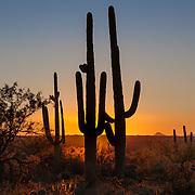 Saguaros at sunset along the Garwood Trail in Saguaro National Park (east section) in Tucson, Arizona