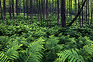 A lot of green fern plants in the forest