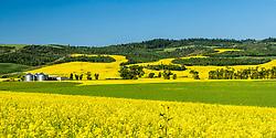 Mustard farm, East Idaho