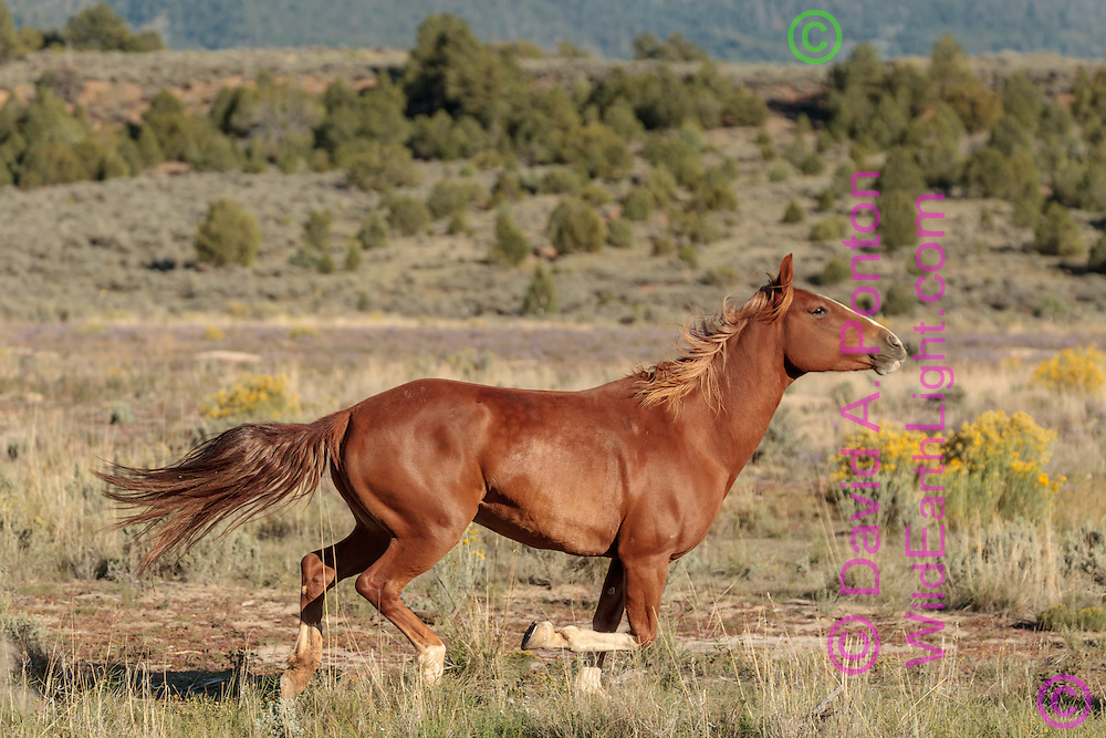 American Quarter Horse running across a meadow on private land in the hilly foothills of the Nacimiento Mountains in northern New Mexico, © David A. Ponton