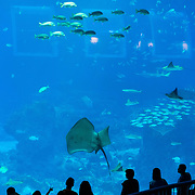 Giant Stingray at panoramic panel of Sentosa Aquarium, Singapore