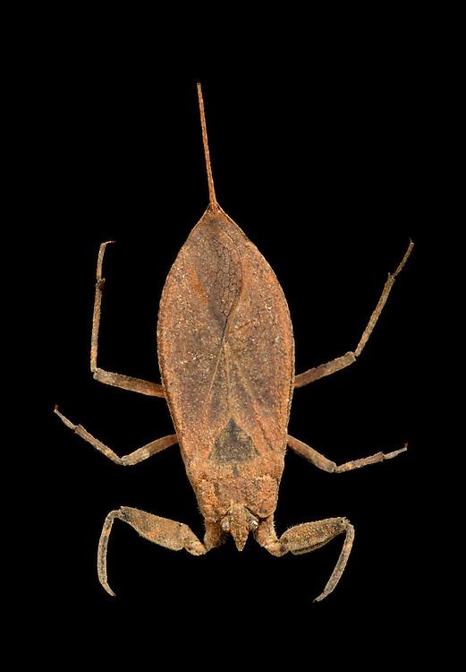 Water Scorpion - Nepa cinerea