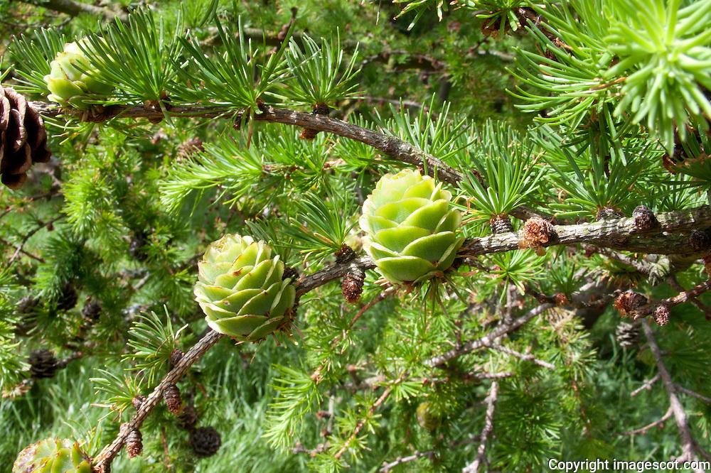 Larch, spring cones