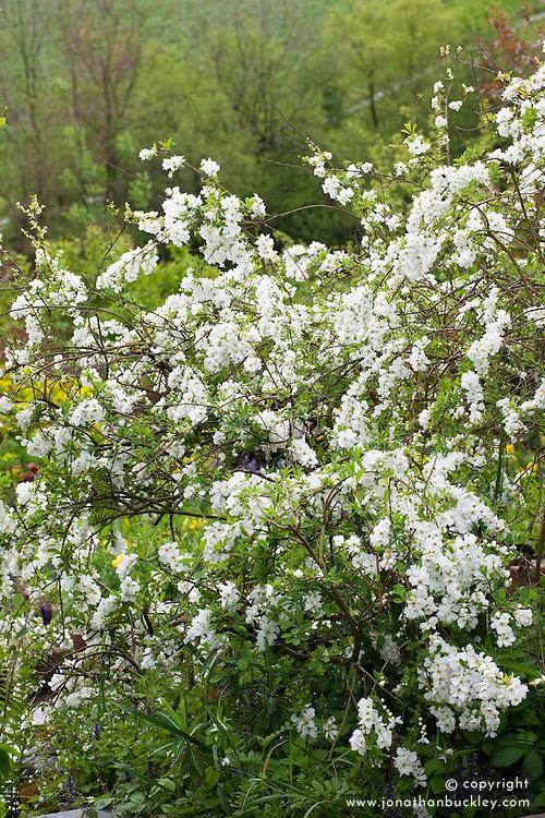 Exochorda × macrantha 'The Bride' AGM. Pearl bush