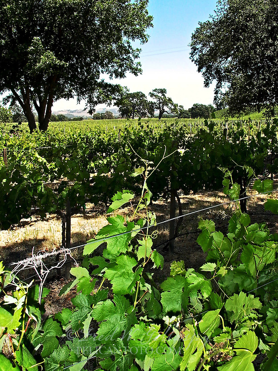 Paso Robles Vineyards - Westside - Peachy Canyon