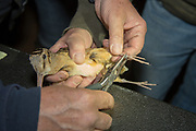 Volunteers place a leg band on a recently captured American woodcock near Bancroft, Wisconsin.