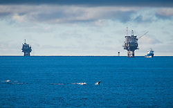 © Licensed to London News Pictures. 20/11/2016. Wick, UK.  A pod of dolphins (believed to be a White-Beaked Dolphins) swimming near the Beatrice Oil platform and Supply vessel 'Ben Nevis' in the Moray Firth in Scotland this morning, 20th November 2016.  Photo credit: Rob Arnold/LNP