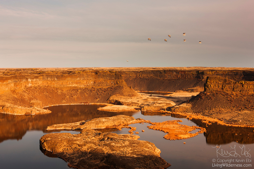 Several ring-billed and herring gulls fly over Dry Falls in Grant County, Washington, which at one time was believed to be the largest waterfall that ever existed. Geologists believe that during the last ice age, ice dams resulted in giant glacial lakes in eastern Washington, Idaho and Montana. When those dams failed, as they did dozens of times, glacial lakes Columbia and Missoula rapidly drained, creating a cataclysmic flood. During the floods, what is now Dry Falls was a spectacular waterfall, 400 feet high (121 meters), 3.5 miles wide (5.63 kilometers). Water may have raced over its massive cliffs at 65 miles an hour (105 km/hour), a flow that's estimated to be ten times as powerful as all the world's current rivers combined. The cliffs shown here represent a small fraction of the ice age waterfall. Dry Falls Lake is pictured in the foreground; Green Lake is visible in the background.