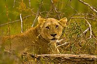 Lioness, Kruger National Park, South Africa