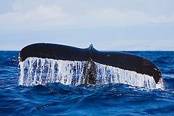 Humpback Whale, fluke-up dive, Megaptera novaeangliae, Hawaii, Pacific Ocean.
