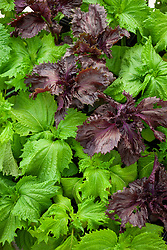 Perilla frutescens - Beefsteak plant, Shiso - Green and Red leaved forms