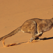 Mountain Lion (Felis concolor) running in sand dunes in the slot canyons in northern Arizona.  Captive Animal