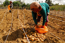 August 5, 2017 - North Sumatera, Indonesia - Potato farmers around Sinabung were forced to harvest their crops earlier  in causes of  eruption three days  ago, resulting in the leaves of their plants drifting in the volcanic ash of eruption of Mount Sinabung. (Credit Image: © Sabirin Manurung/Pacific Press via ZUMA Wire)