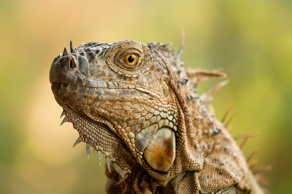 """Iguana Portrait<br /> <br /> Available sizes:<br /> 12"""" x 18"""" print <br /> <br /> See Pricing page for more information. Please contact me for custom sizes and print options including canvas wraps, metal prints, assorted paper options, etc. <br /> <br /> I enjoy working with buyers to help them with all their home and commercial wall art needs."""